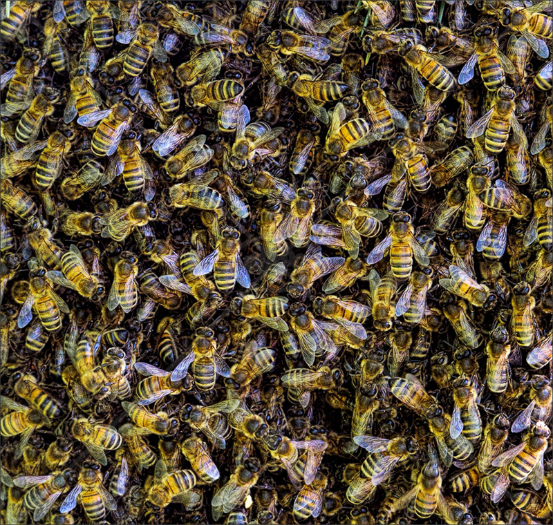 Swarming Bees by Calvin Downes - C (PDI)