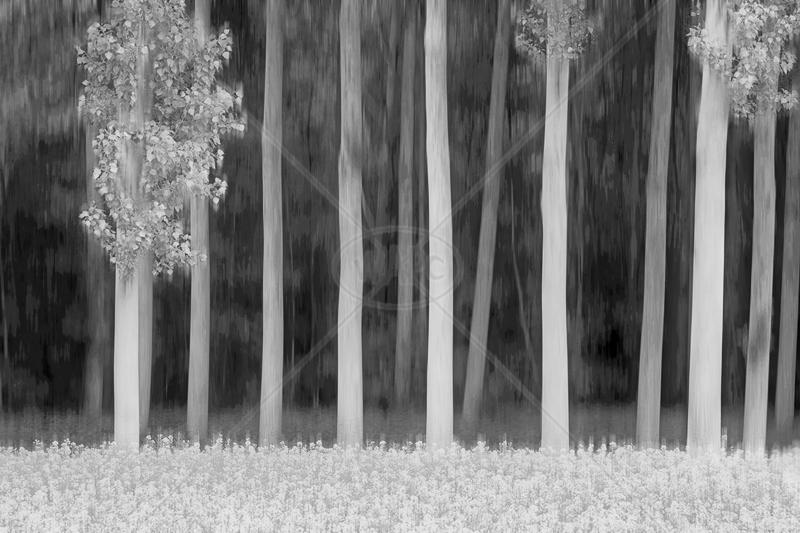Poplars & Rape by Irene Froy - C (Adv mono)