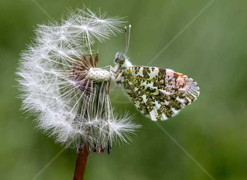 Male Orange Tip by Norman O'Neill - 1st (Adv col)