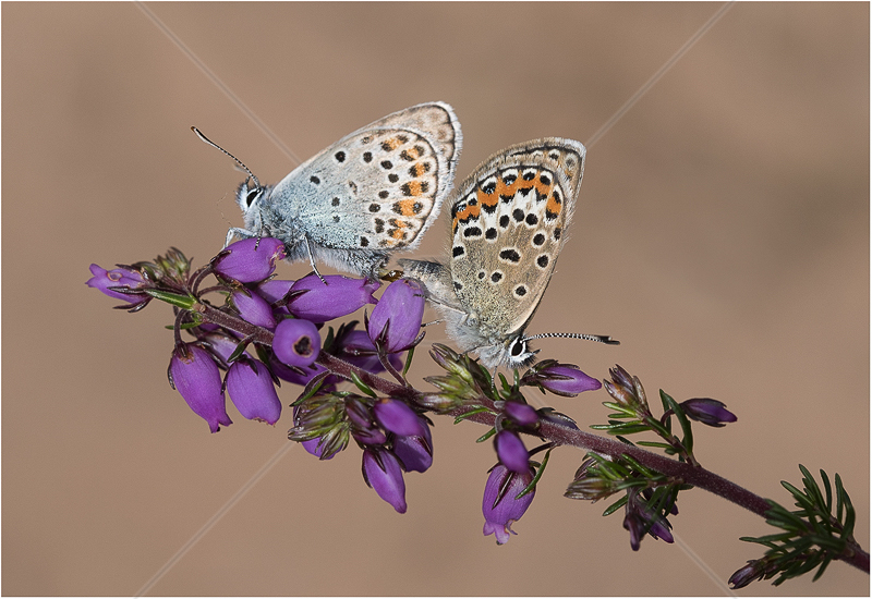 Silver Studded Blues Mating by Alan Lees - C (Adv)