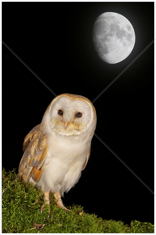 Barn Owl at Night by Peter Hodgkison - 1st (Int)