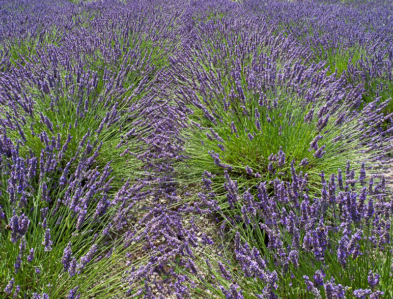 Lavender by Gerry Froy - HC (Int)