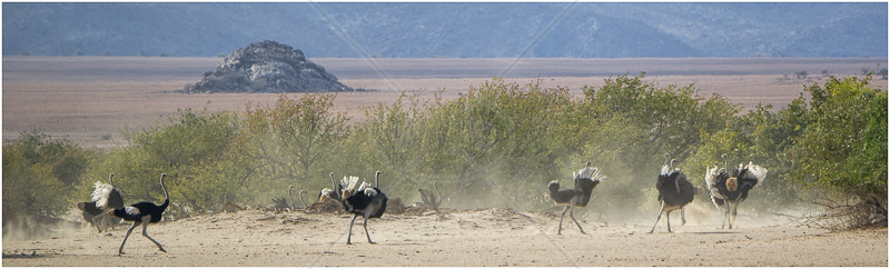 Ostrich Panorama by Russell Price - C (Adv)