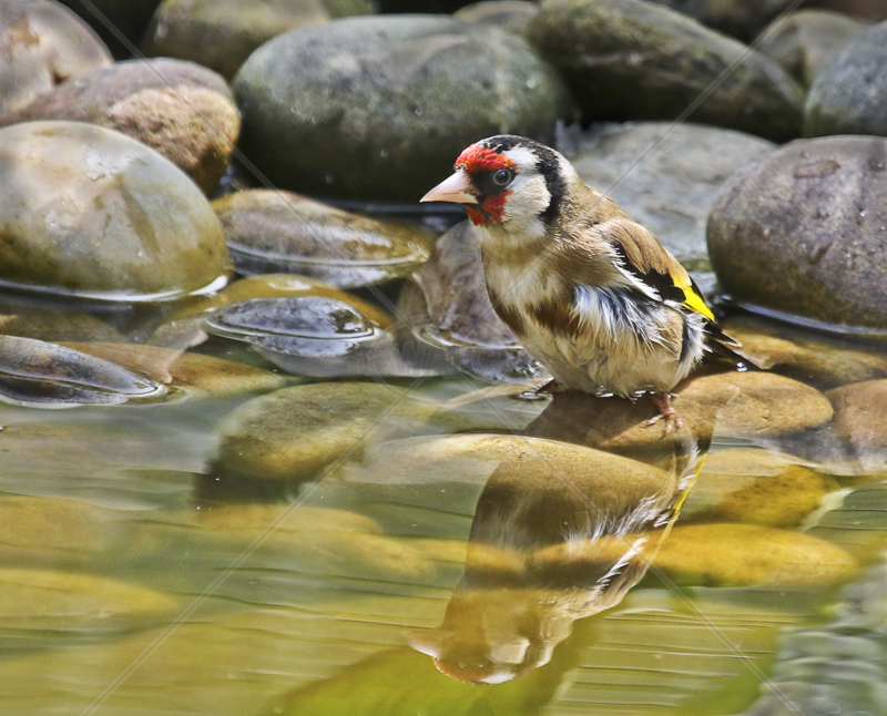 Goldfinch Bathing by Peter Hodgkison - 2nd (Int)