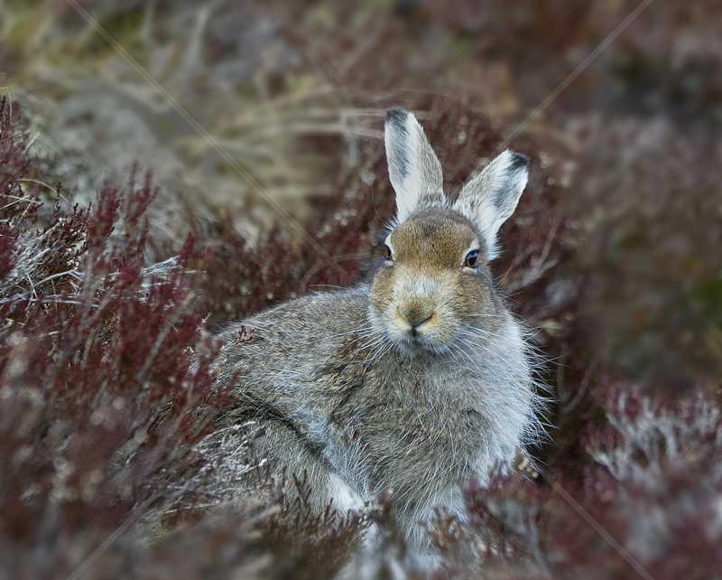 Mountain Hare in Form by Russell Price - C (Adv col)