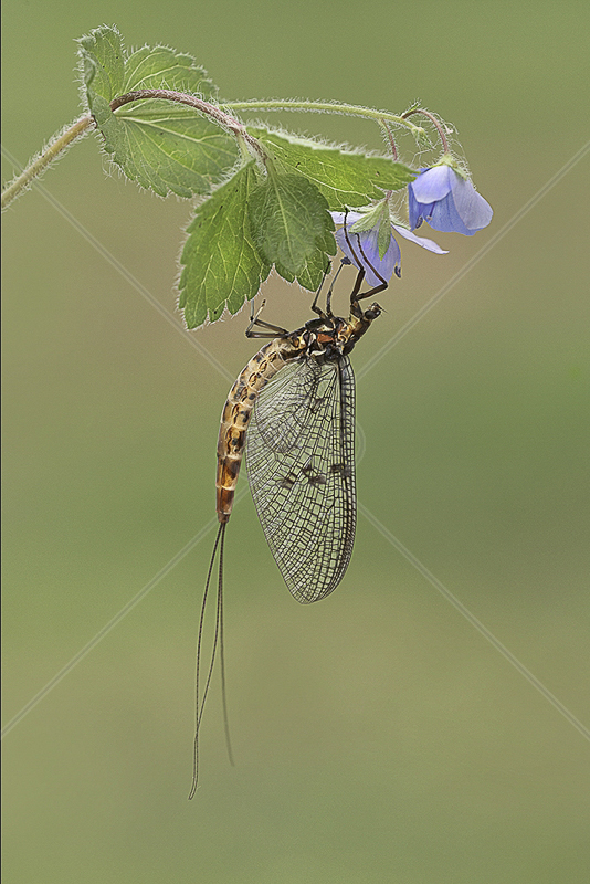 "RPS Gold medal Best Insect (nat) - ""Mayfly"" by Jon Mee BPE2"