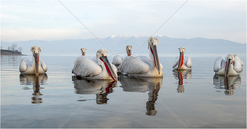 Wrekin Members medal (Open) - Pelicans Watching by Steve Barber