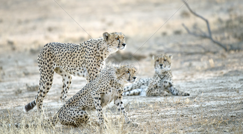 Cheetahs Spotting Prey by Audrey Price - C (ADV Col)