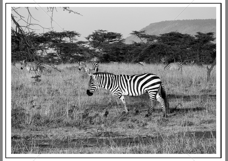 Zebra by Guy Kershaw - C (Int mono)