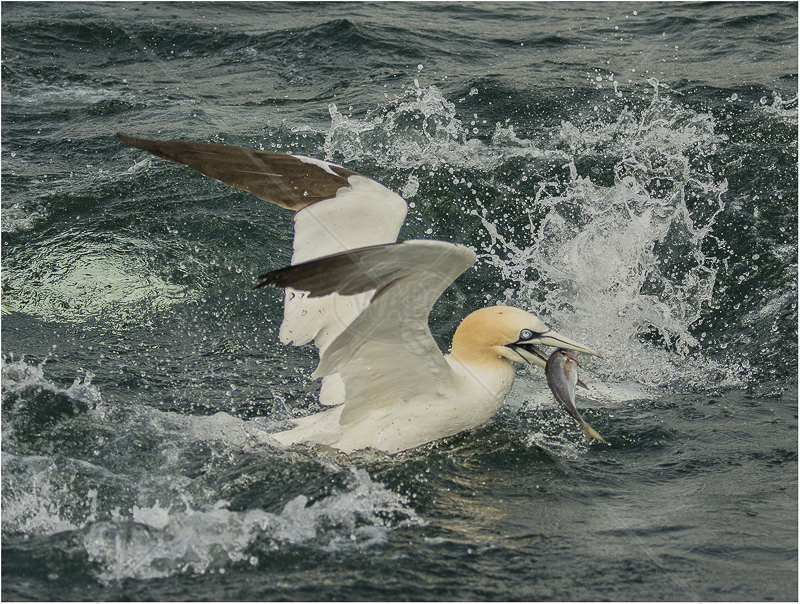 Gannet with Fish by Alan Lees - HC (Adv)