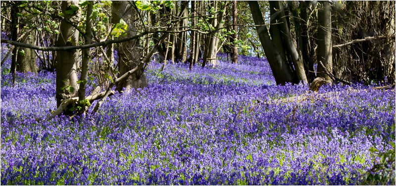 Bluebells by David Prestwood - C (Int)