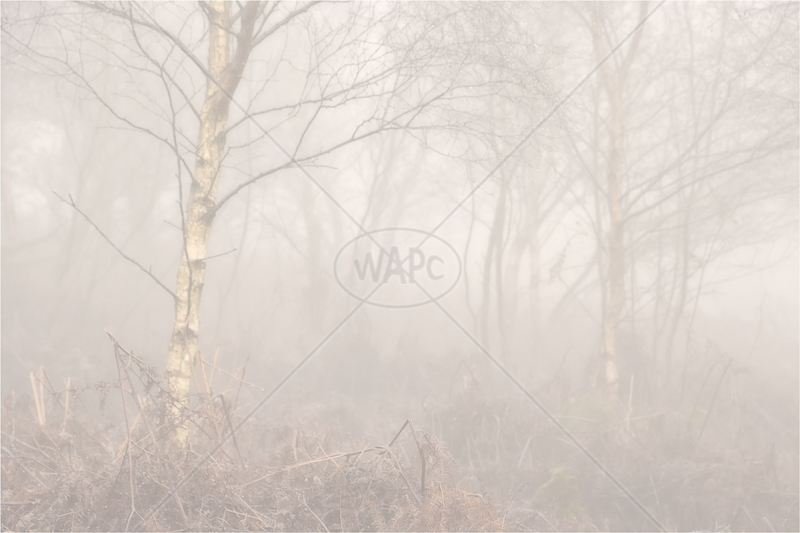 Mist in the Birch Wood by Sue Baker - C (PRINT)