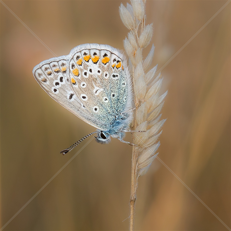 Resting Common Blue by Norman O'Neill - C (Adv col)