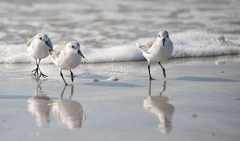 Sanderlings by Russell Price - C (Adv Col)