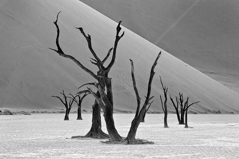 Dunes and Trees by Audrey Price - C (Adv mono)