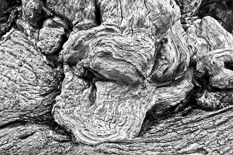 The Croft Spanish Chestnut Tree by Peter Hodgkison - HC (Int mono)