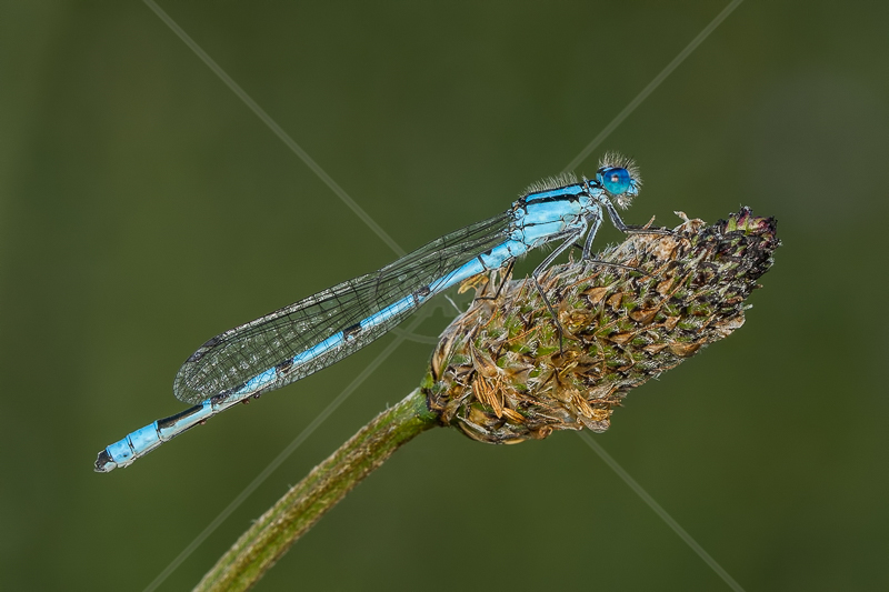 Common Blue Damselfly by Norman O'Neill - C (Adv)