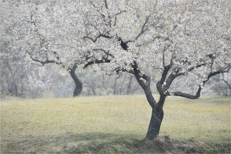 Almond Blossom by Audrey Price - C (Adv)