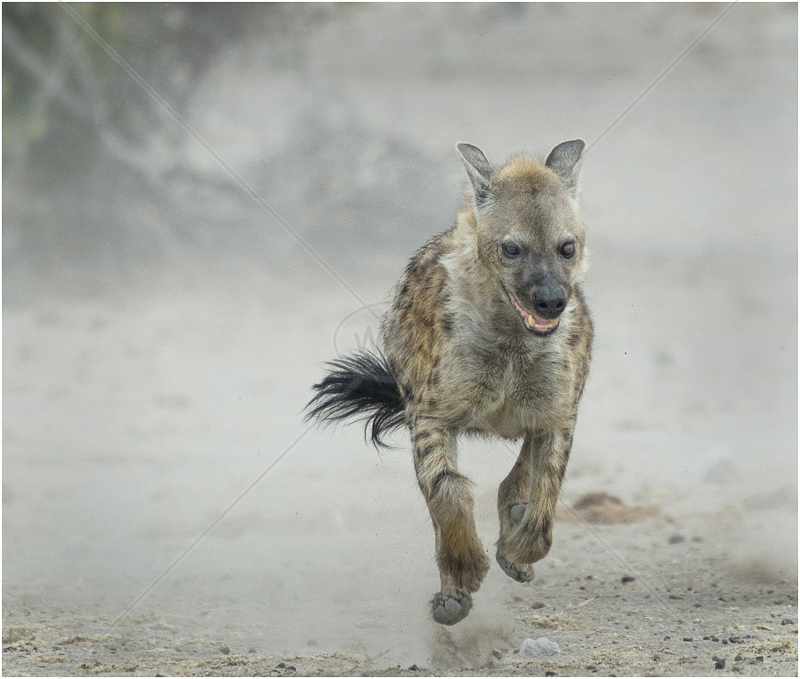 Hyena Running by Audrey Price - 1st (Adv)