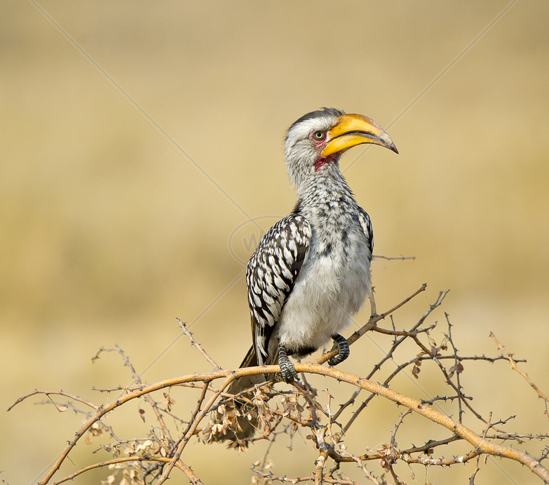 Southern Yellow Billed Hornbill by Russell Price - C (Adv)