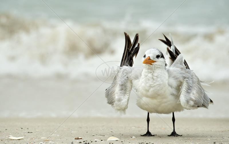 Tern Preening by Audrey Price - C (Adv)