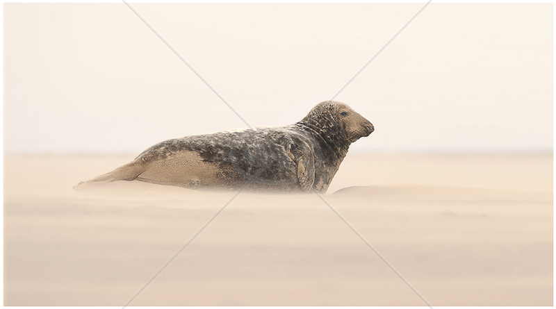 Seal in Sand Storm by Steve Barber - HC (PRINT)