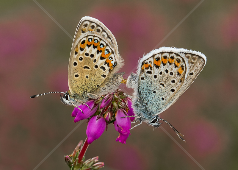 Silver Studded Blues Mating on Bell Heather by Norman O'Neill - 2nd (PRINT)