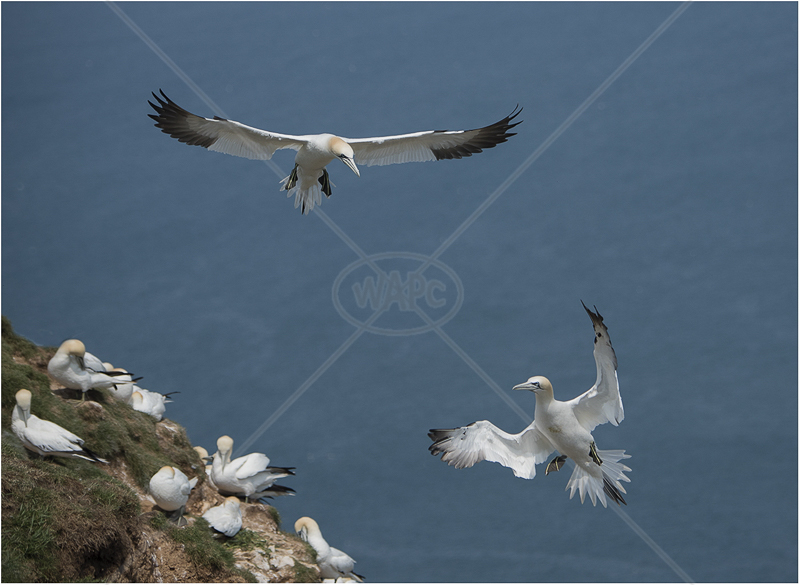 Gannets at Bempton Cliffs by Alan Lees - 3rd (PDI)