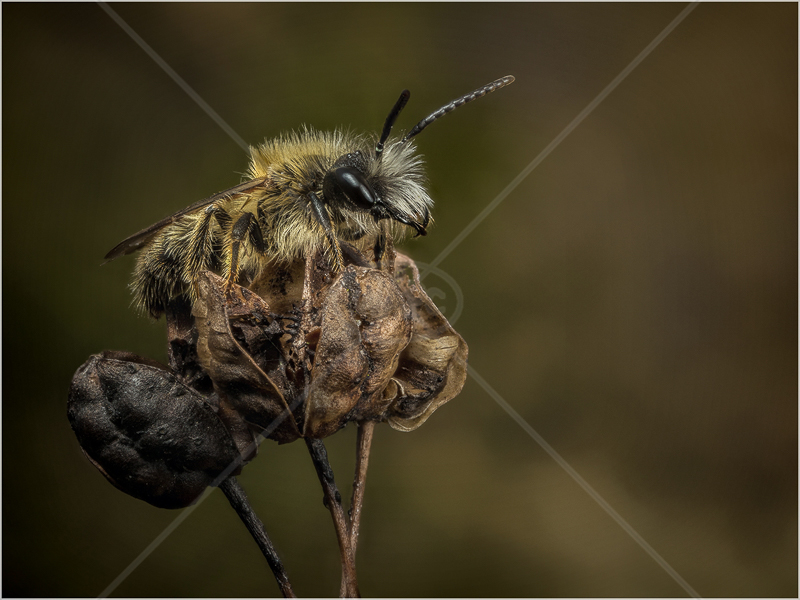 Male Tawny Mining-Bee, Warming-Up on a Plant Stem by Ed Phillips - C (PDI)