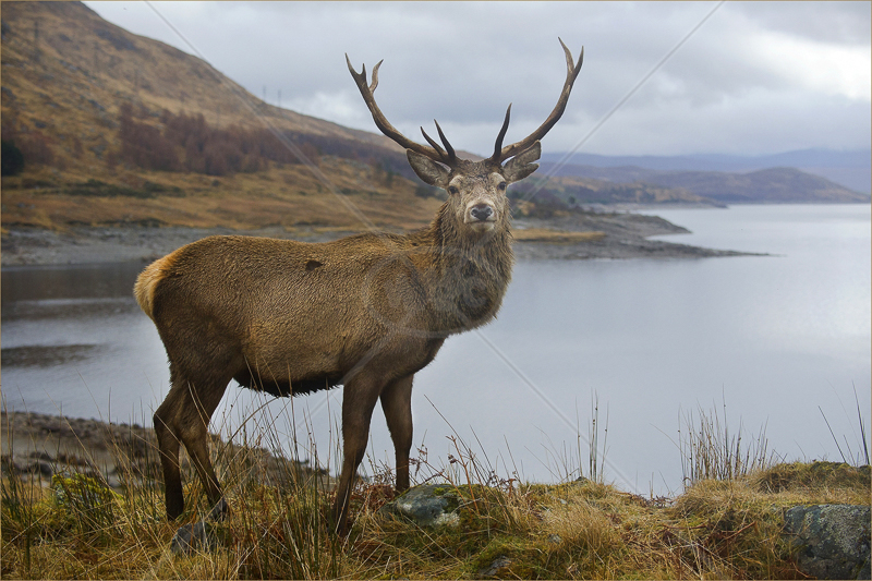 Glen Garry Stag by Russell Price - 1st (PDI)