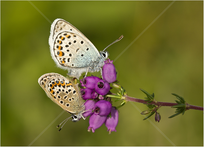 Mating Silver Studded Blues by Alan Lees - C (PDI)