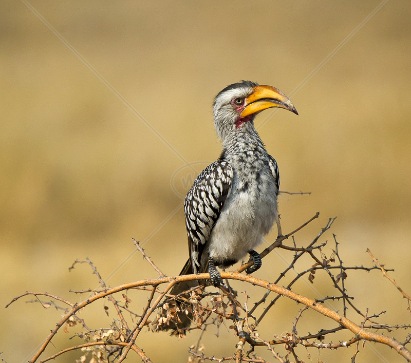 Southern Yellow Billed Hornbill by Russell Price - C (PDI)