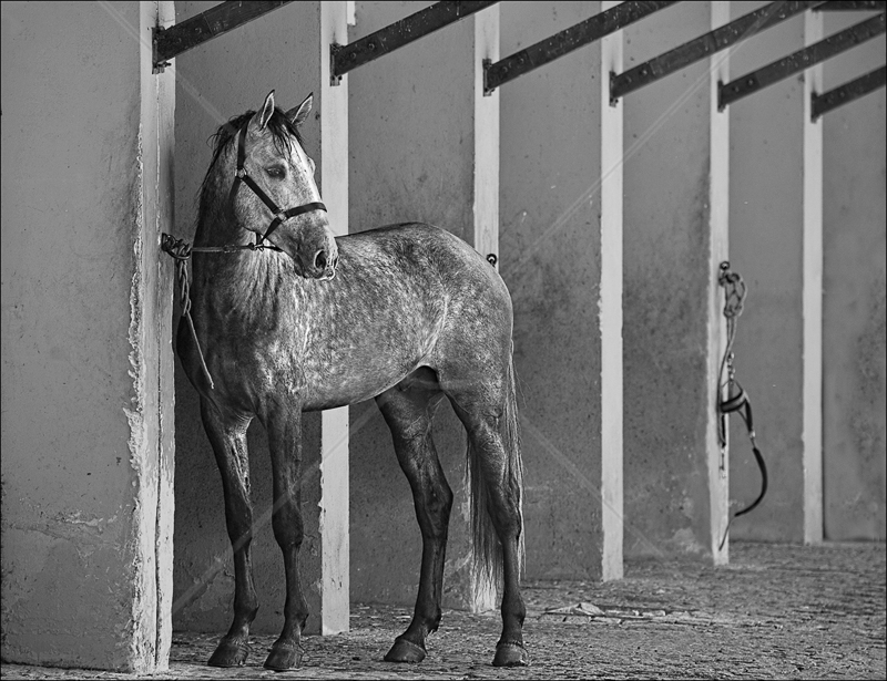 The Tethered Gelding by Audrey Price - C (Adv mono)