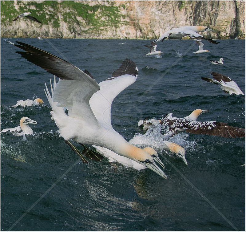 Diving Gannets by Alan Lees - C (Adv)