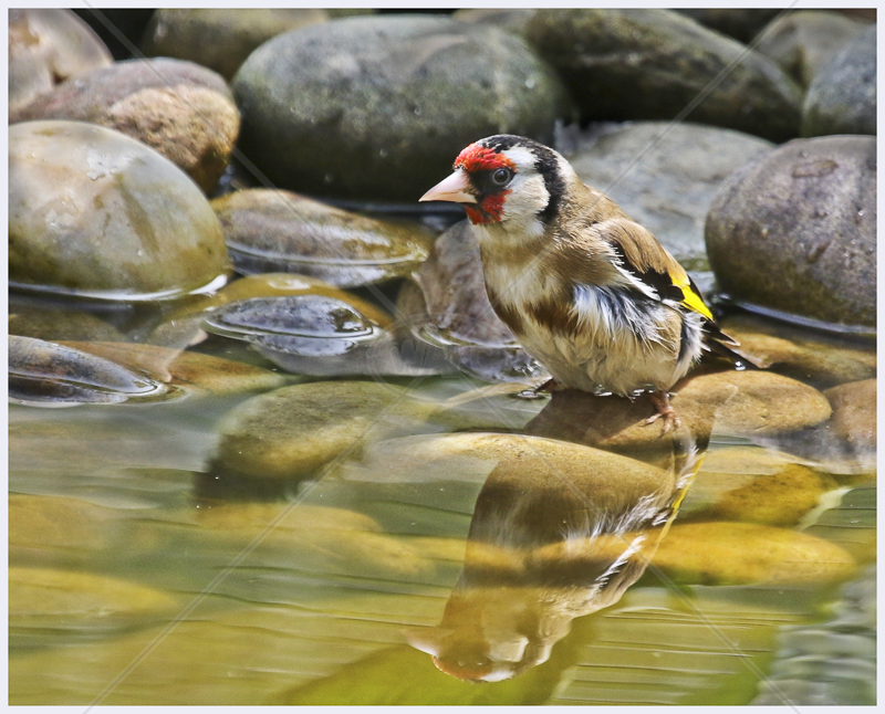 Goldfinch Bathing by Peter Hodgkison - C (Int)