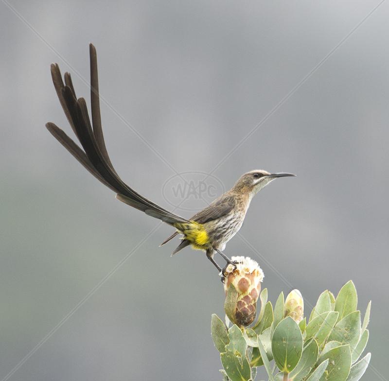 Cape Sugarbird on Protea by Audrey Price - C (Adv col)