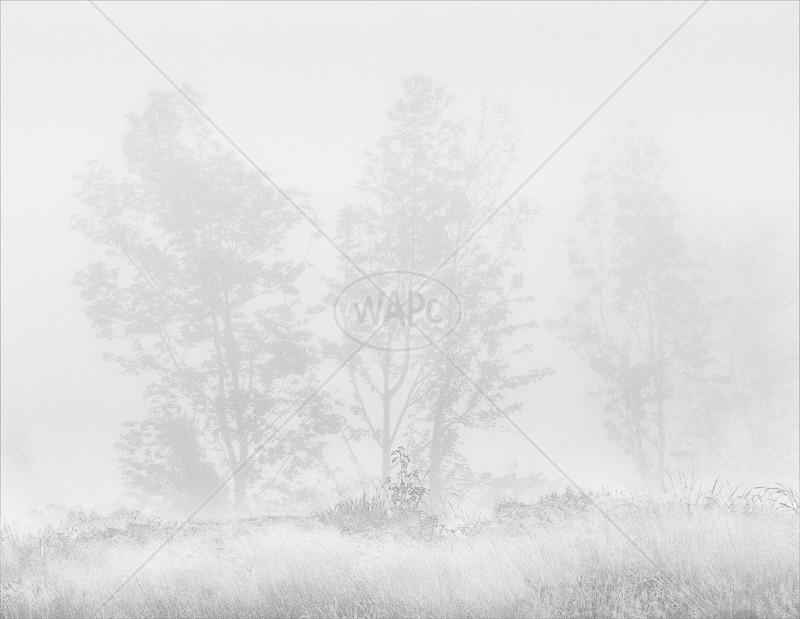 Misty Trees by Irene Froy - 1st (Adv mono)
