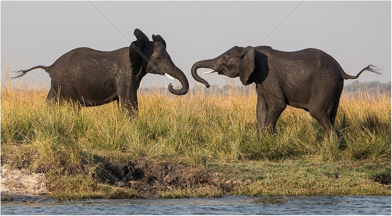 Young Elephant Bulls Sparring by Alan Lees - C (adv)