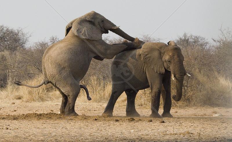 Elephants Mating by Rachel Owen - 2nd (adv)