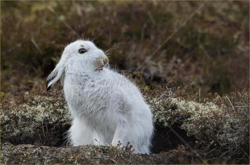 Grooming Mountain Hare in Form by Audrey Price - C (Adv)