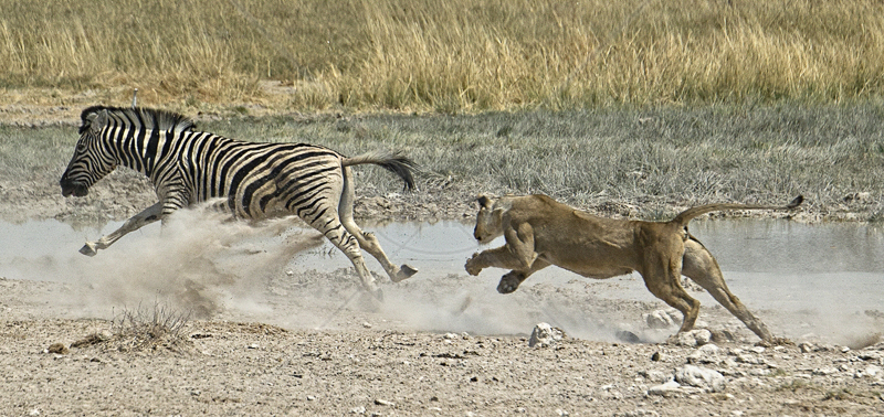 Lioness Charging Zebra by Russell Price - C (Adv)