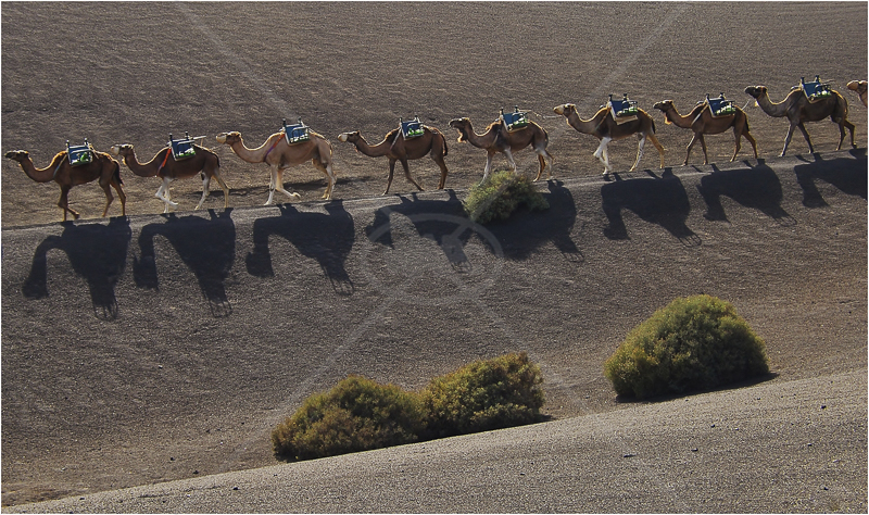 Camel Train - Lanzarote by Andy Udall - C (Int)