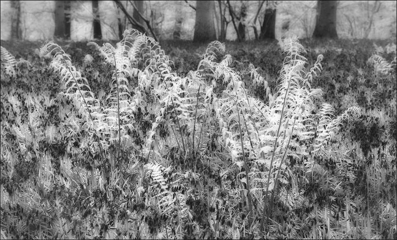 Spring Woodland by Audrey Price - C (Adv mono)