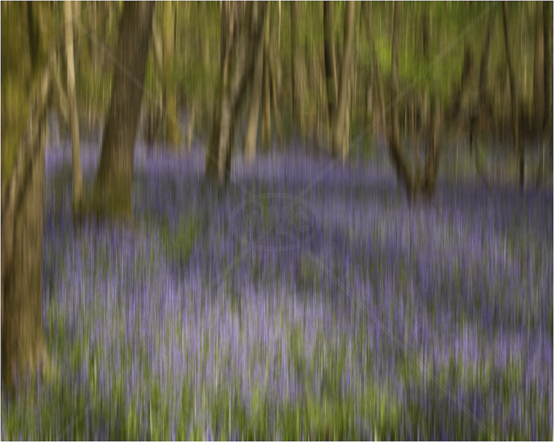 Bluebell Blur by Tony Lewis - C (Adv)