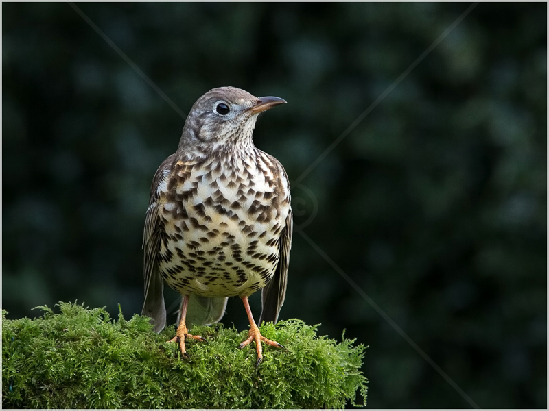 Mistle Thrush Moment by Ed Phillips - 2nd (Adv)