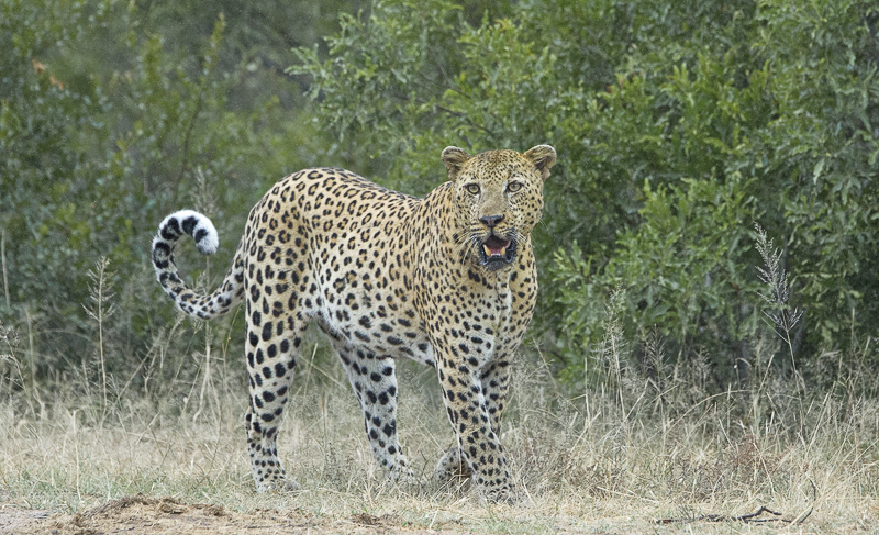 Male Leopard on the Move by Russell Price - C (PRINT)