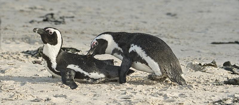 Penguin Territorial Dispute by Audrey Price - C (PRINT)