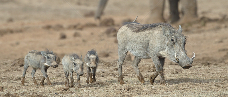 Warthog Family by Audrey Price - C (PRINT)