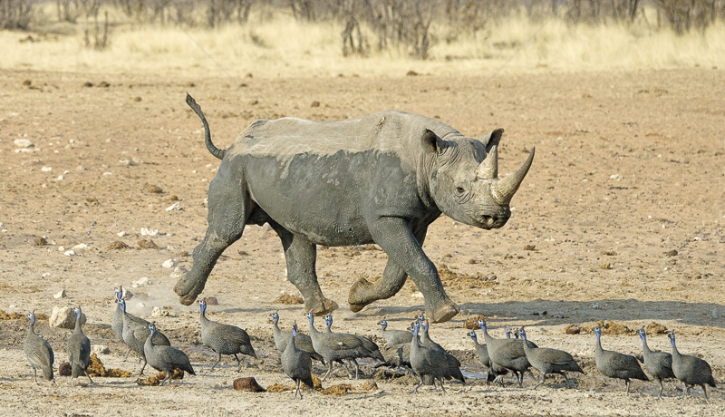 Rhino and Guinea Fowl by Russell Price - 3rd (PRINT)