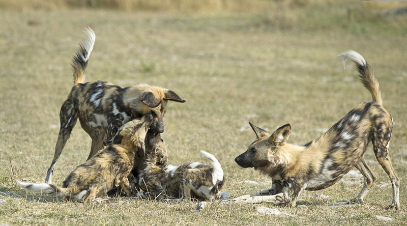 Wild Dog Pups Feeding by Russell Price - 1st (PRINT)
